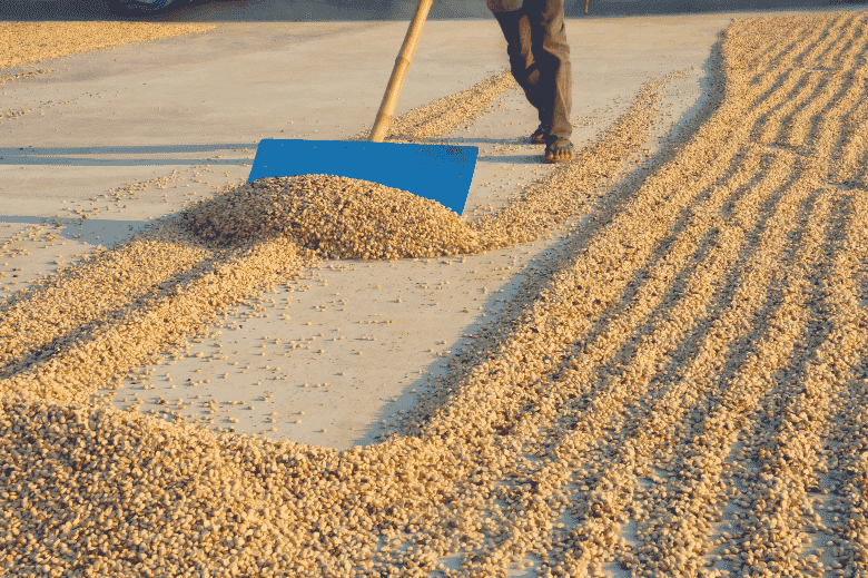 a man drying coffee beans, using a large spade to spread the coffee beans