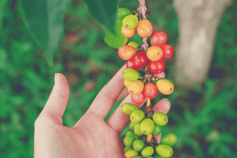 a hand holding a bunch of coffee cherries