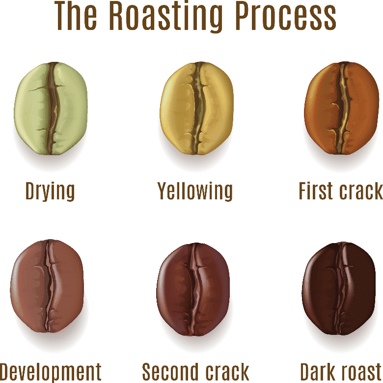 roasting process chart showing 6 coffee beans from drying to dark roast beans, light roast coffee