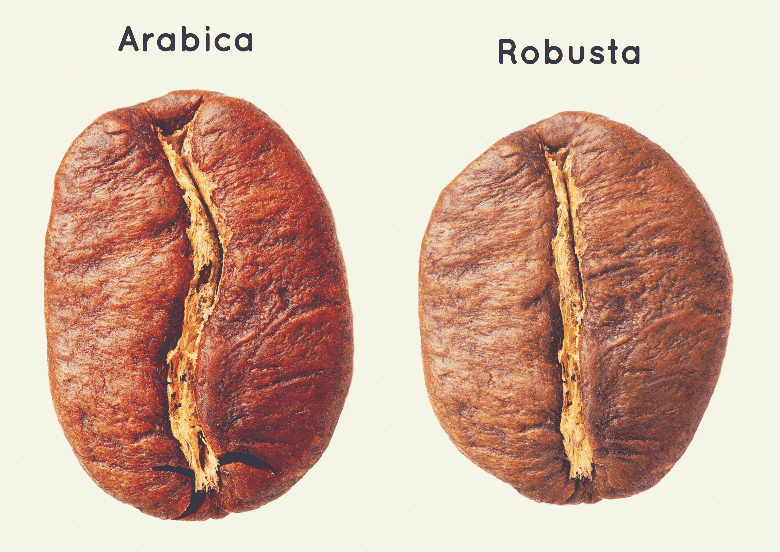 one arabica bean and one robusta bean side by side