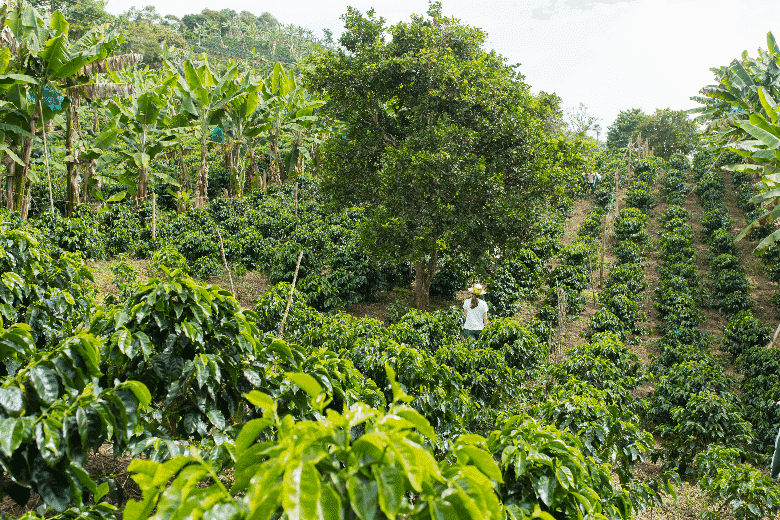 Rows of coffee on a coffee plantation in Colombia, espresso beans