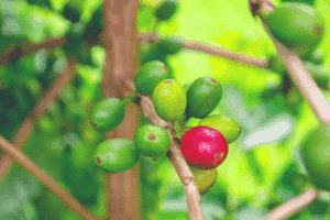 Kona Coffee on the Bush