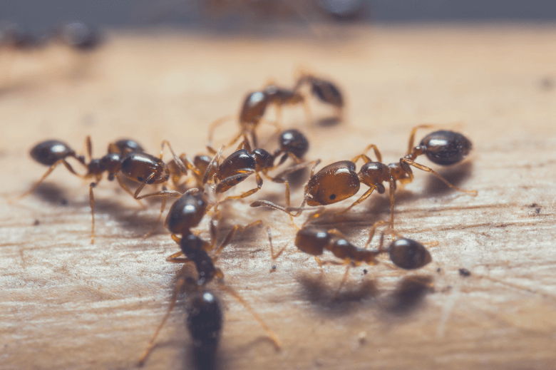 red imported fire ants, will coffee grounds kill ants