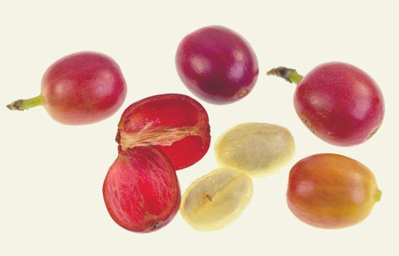 Coffee Cherry Fruit Anatomy, how are coffee beans made