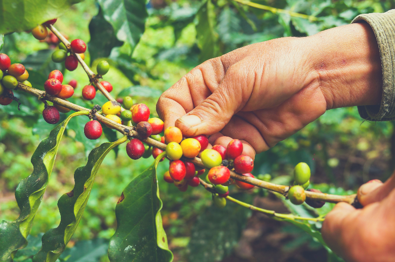 picking coffee, how are coffee beans made